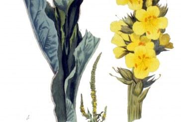خواص گل ماهور | خرگوشک درمان ریزش مو و ابرو