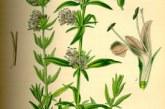 گیاه دارویی زوفا, خواص و طرز مصرف