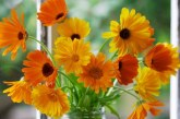 گل همیشه بهار , خواص دارویی و درمانی